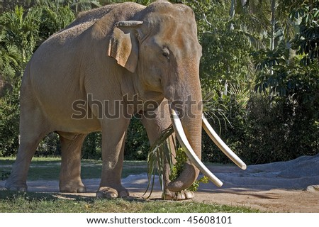 Male Indian Elephant eating palm leaves with its trunk