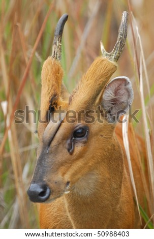 Male Indian Muntjac in Khao Yai National Park, Thailand - stock photo