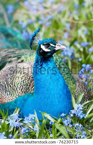 Male Indian Peafowl - stock photo