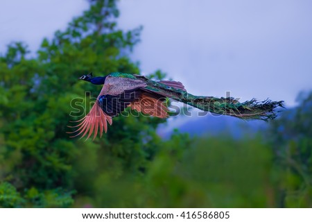 Male Indian peafowl, Blue peafowl(Pavo, cristatus) flying action in real nature in Thailand