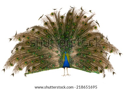 Male Indian Peafowl over white - stock photo