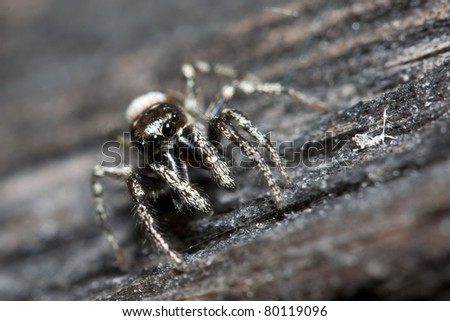 Male jumping spider (salticidae scenius) on a fence - stock photo