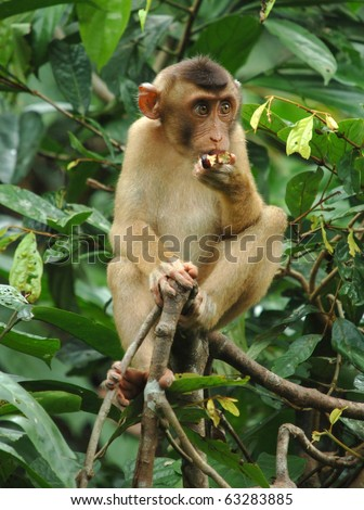 male juvenile macaque monkey eating in tree, borneo, south east asia. exotic cute baby primate in tropical jungle rainforest - stock photo