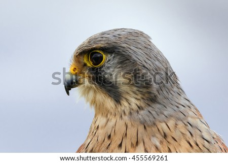 Male Kestrel head and shoulders. A close up profile of this lovely falcon. - stock photo
