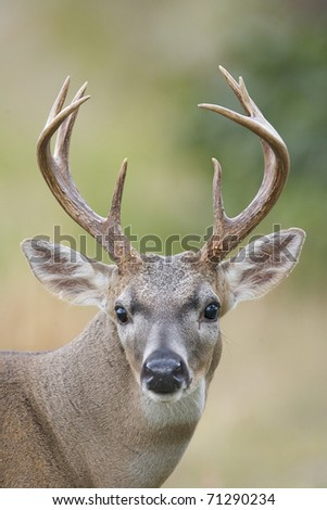 Male Key Deer Portrait