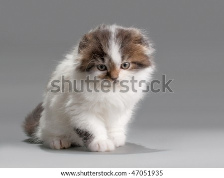 Male kitten scottish fold breed seated on gray. No isolated.