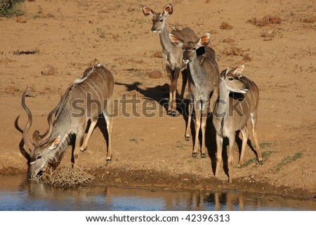 Male kudu antelope drinking water while females keep a watch