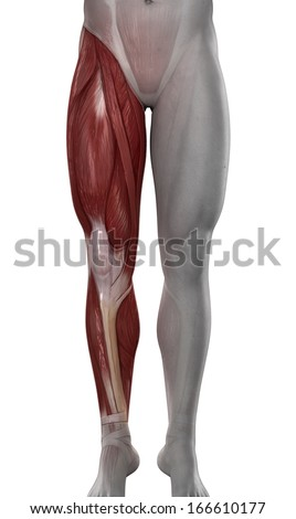 Male Leg Muscles Anatomy Isolated Stock Illustration 166610177