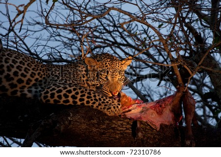 male leopard feeding on its prey, a bushbuck, in a tree in Sabi Sand nature reserve, South Africa - stock photo