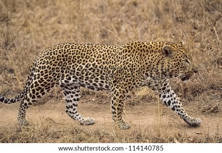 Male leopard patrolling his territory.South Africa game reserve