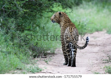 Male leopard staring at prey