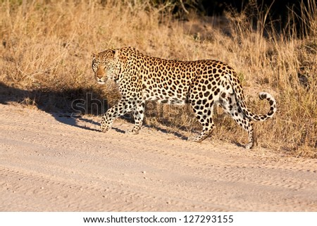 Male leopard walking along a dirt road in morning sun