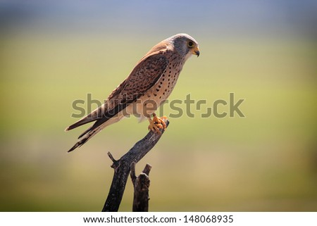 Male Lesser Kestrel (Falco naumanni) on a Spanish Farmhouse Rooftop - stock photo