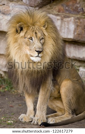 Male Lion. - stock photo