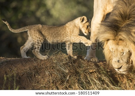 Male lion and a playful cab South Africa - stock photo