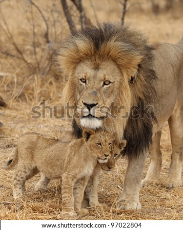 Male lion and cub - stock photo