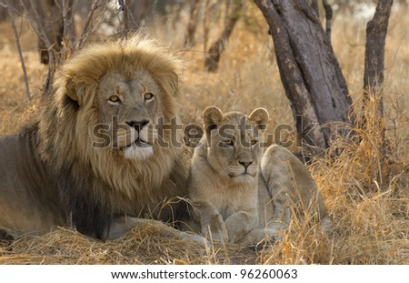 Male Lion and cub (Panthera leo), South Africa
