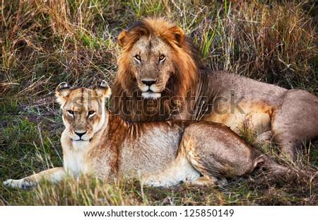 Male lion and female lion - a couple, on savanna. Safari in Serengeti, Tanzania, Africa - stock photo