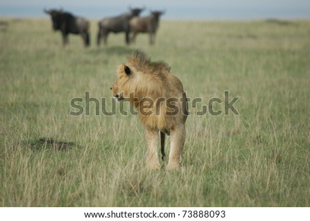 Male lion checks out his lunch - stock photo