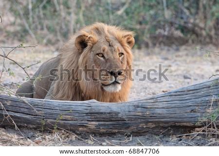 Male Lion, Chobe National Park, Botswana - stock photo
