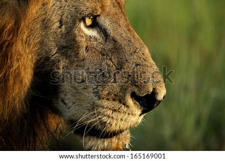 Male Lion Close-up - stock photo
