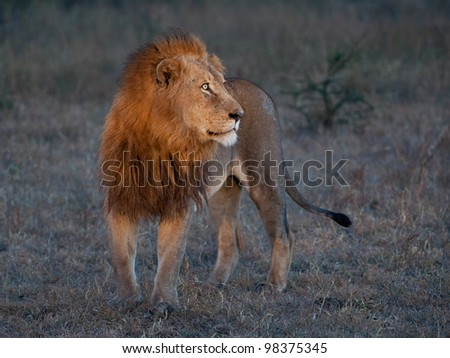 Male lion early morning