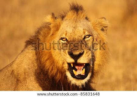 Male lion fierce growl - stock photo