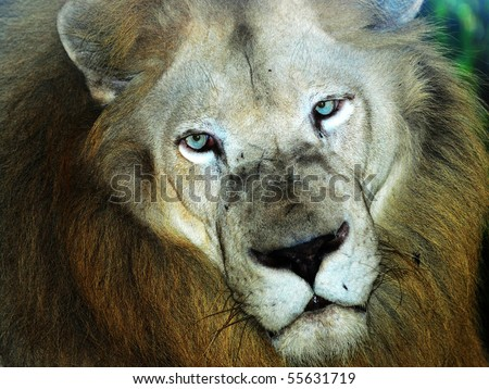 male lion head