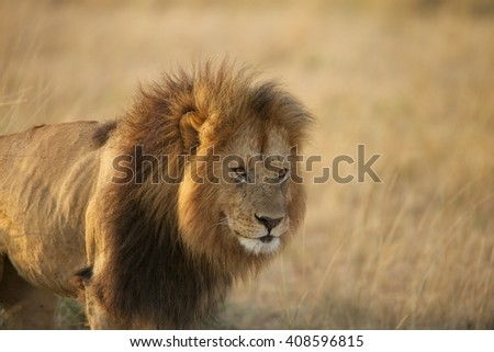 Male Lion head and shoulders