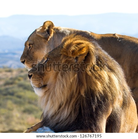 Male Lion in all of his glory - stock photo