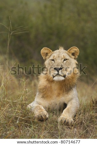 Male lion in Madikwe reserve South Africa resting.