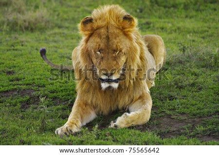 Male lion in Ngorogoro Crater National Park, Tanzania - stock photo
