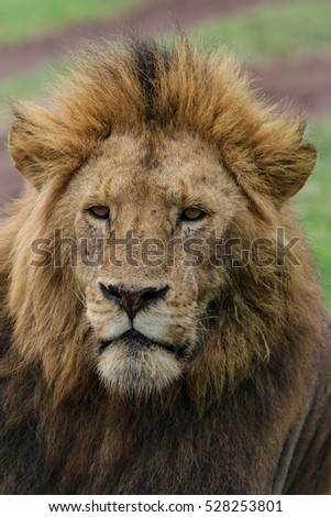 Male Lion in Ngorongoro Crater