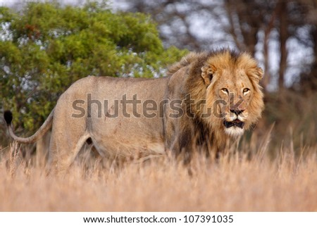 Male lion in South Africa, walking through long grass - stock photo