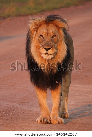 Male lion in the road - stock photo