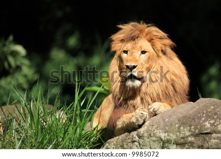Male Lion in the wild - stock photo