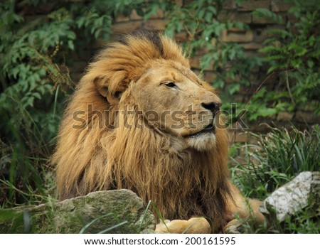 Male lion in the zoo. - stock photo