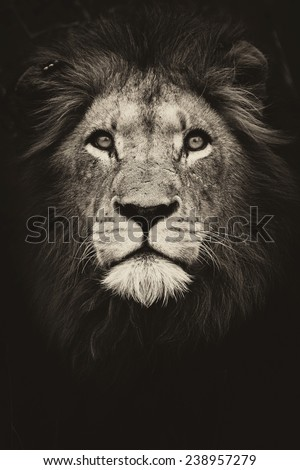 Male Lion King - stock photo