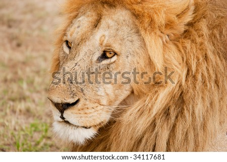 Male Lion king of the jungle