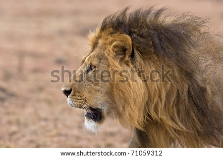 male lion king portrait - scarface in africa