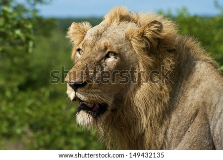 Male lion kruger national park south africa - stock photo