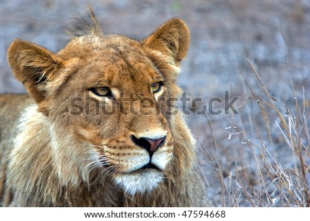 Male Lion, Kruger National Park, South Africa