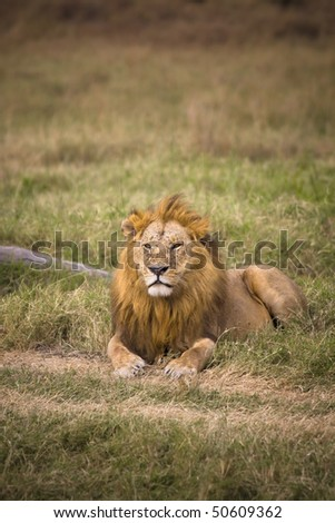 Male lion laying in grassy African countryside. - stock photo