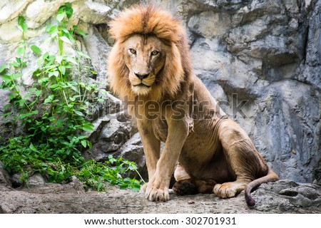Male lion laying on the rock - stock photo
