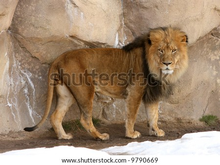 Male Lion looking at camera - stock photo