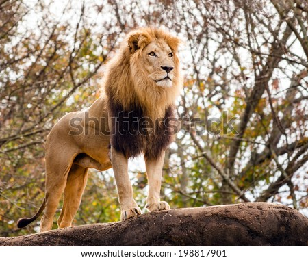 Male lion looking out atop rocky outcrop  - stock photo