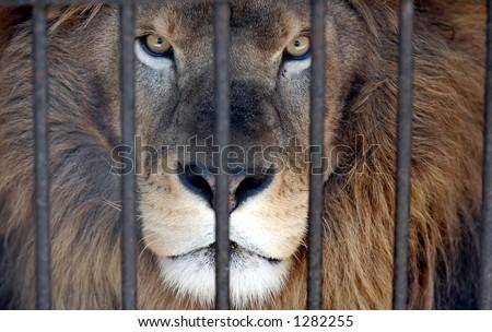 lion cage stock images royaltyfree images amp vectors