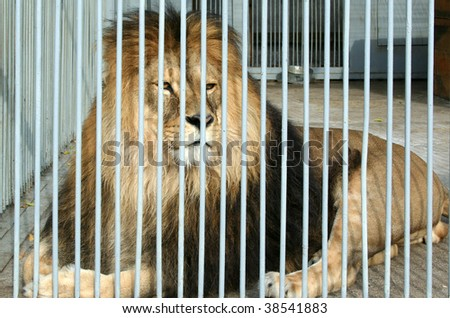 Male lion looking through zoo bars - stock photo