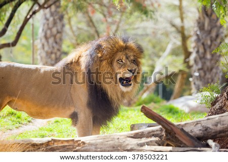 Male lion looking towards the camera at a large safari style park in California.