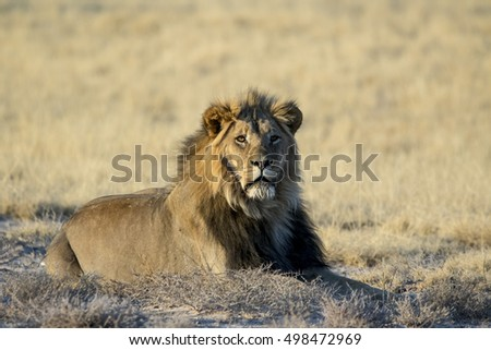 Male lion lying down with eye contact